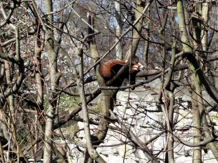 木の上で寝ているアライグマ。かわいー